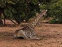 Jirafa (Giraffa camelopardalis), parque nacional de Chobe, Botsuana, 2018-07-28, DD 90.jpg
