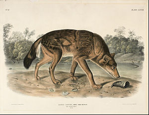 Red wolf - Audubon's depiction of the species (1851)