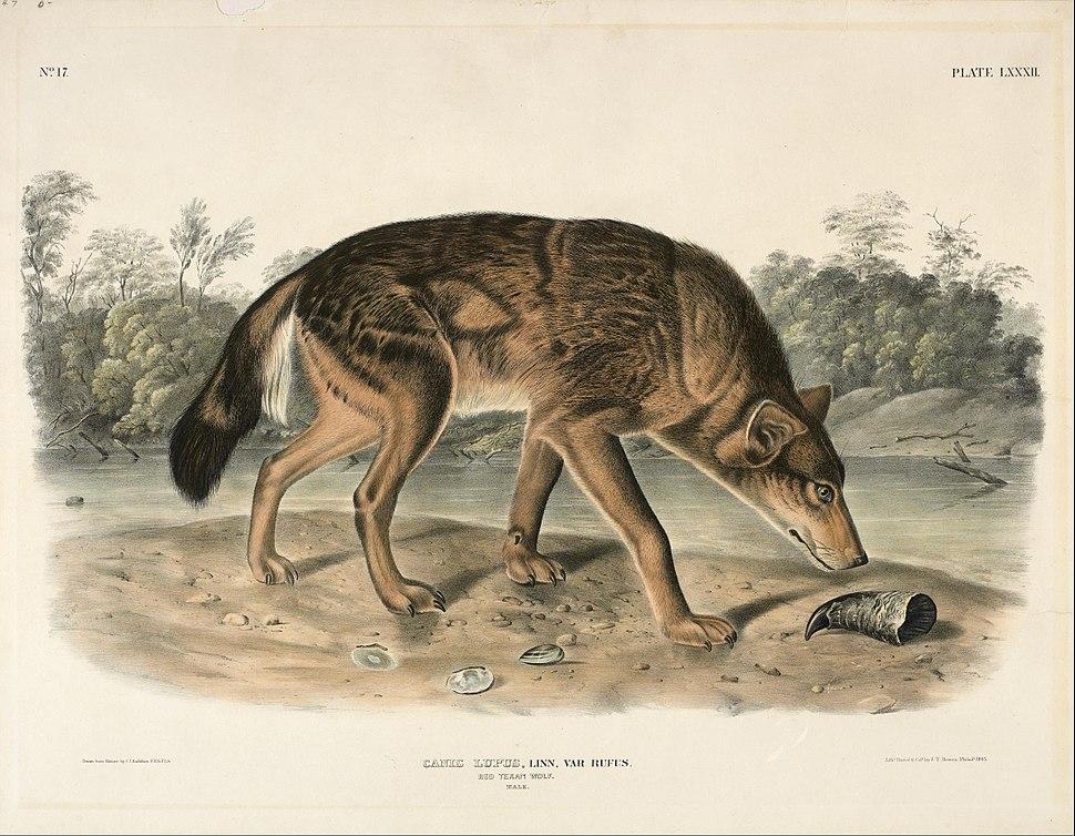John Woodhouse Audubon - Red Texas Wolf (Canis Lupus) - Google Art Project