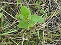Jonge berk (Betula pendula).jpg