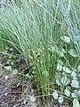 Juncus filiformis kz01.jpg