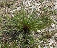 Juncus pygmaeus plant (01).jpg