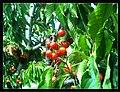 June Flower ^ Cherry Farming Endingen Kaiserstuhl - Master Seasons Rhine Valley Photography 2013 - panoramio (18).jpg