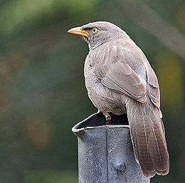 Jungle Babbler I IMG 9056
