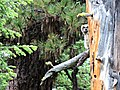 Juvenile Owl perching on Tree-Ochoco (25391612501).jpg