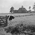 Kalf in een weiland bij een boerderij, Bestanddeelnr 191-0654.jpg