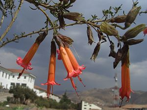 National symbols of Peru - Cantuta buxifolia