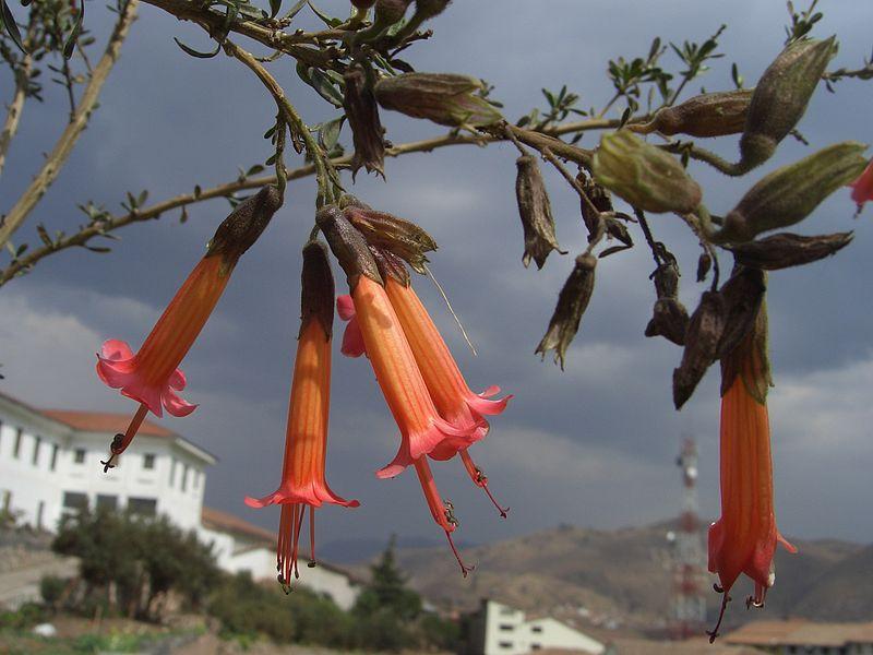 https://upload.wikimedia.org/wikipedia/commons/thumb/b/bd/Kantutas_Cuzco.jpg/800px-Kantutas_Cuzco.jpg