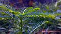 Keezharnelli 2 Phyllanthus niruri.jpg