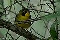 Kentucky Warbler (male) Fall Out Sabine Woods TX 2018-04-08 12-54-49 (41484882031).jpg
