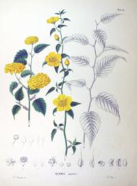 Kerria japonica SZ98.png