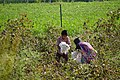 Kids in the cotton fields - Aurangabad (Maharastra, India) (32877090273).jpg