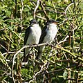 Kingbirds (5946076667).jpg