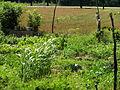 Kitchen Garden IDNL P7270079.JPG