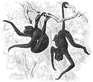 Wikichicoslos Monosel Mono Araña Wikilibros