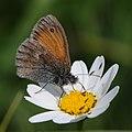 Kleines Wiesenvögelchen, Coenonympha pamphilus 8.jpg