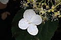 Klimhortensia of Hydrangea anomala petiolaris 02.JPG