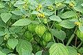 Kluse - Physalis philadelphica - Tomatillo 05 ies.jpg