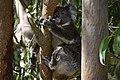 Koala Yan2.jpg