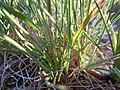 Koeleria macrantha (6244462456).jpg