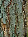 Koelreuteria paniculata 002.JPG