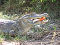 Krokodil frisst Piranha.JPG