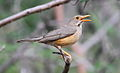 Kurrichane thrush, Turdus libonyanus at Marakele National Park, Limpopo, South Africa (16148540719).jpg