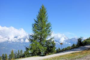Larix decidua - European larch in l'A Bran, (1798 m) Val d'Annivier.
