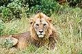 Löwe-Africa.jpg