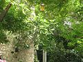 La Garde-Adhémar Figuier poussant dans un mur.jpg