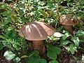 Labeled as Aspen Bolete. Leccinum aurantiacum. (a16dc0de8c6e41ef800a2dd06773d5cb).JPG