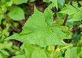 Lactuca alpina in Morzine (2).jpg