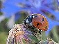 Ladybug on Sibillini Mountains 03.jpg