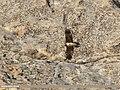 Lammergeier (Gypaetus barbatus) (42216362391).jpg