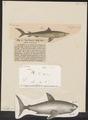 Lamna cornubica - 1700-1880 - Print - Iconographia Zoologica - Special Collections University of Amsterdam - UBA01 IZ14100073.tif