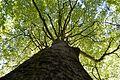 Landschaftsschutzgebiet Gütersloh - Isselhorst - Wald an der Lutter - Blick nach oben (8).jpg