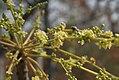 Lannea coromandelica (Wodier Tree) in Hyderabad W IMG 5634.jpg