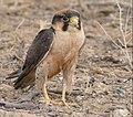 Lanner Falcon (Falco biarmicus) after a foot bath ... (32222780438).jpg