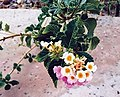 Lantana camara flowers 3.jpg