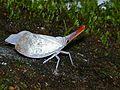 Lantern Bug (Laternaria sultana) (6730945983).jpg