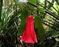 Lapageria rosea - Copihue.jpg