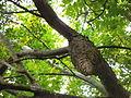 Las avispas durmiendo en Buga natural.JPG