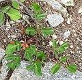Laserpitium krapfii subsp gaudinii 4 RF.jpg