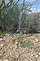 Late Winter 2013, Lupinus sparsiflorus, Desert Thin Leaf Lupine - panoramio.jpg