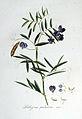 Lathyrus palustris — Flora Batava — Volume v6.jpg