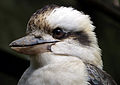 Laughing Kookaburra, Tamborine Mountain 001.jpg