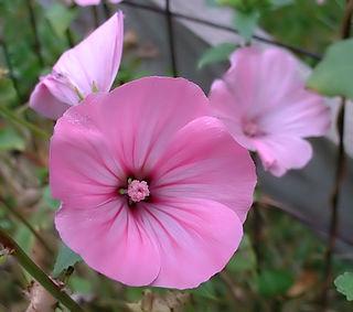 <i>Lavatera trimestris</i> Species of plant