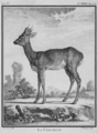 Le chevreuil - Roe Deer Buck - Capreolus capreolus - Gallica - ark 12148-btv1b2300253d-f34.png