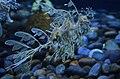 Leafy Seadragon- weird looking, aren't they? (27287651874).jpg