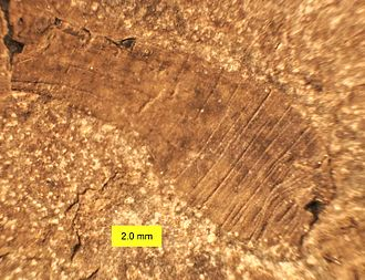 Sipuncula - Lecthaylus gregarius, a Silurian sipunculan from Illinois (contracted).